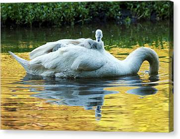 Mute Swan And Cygnets Canvas Print by Alex Hyde