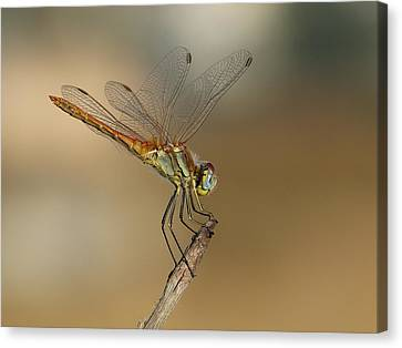 My Best Dragonfly Canvas Print by Janina  Suuronen