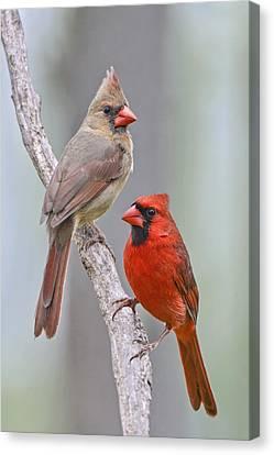 My Cardinal Neighbors Canvas Print by Bonnie Barry