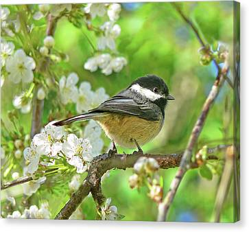 My Little Chickadee In The Cherry Tree Canvas Print by Jennie Marie Schell