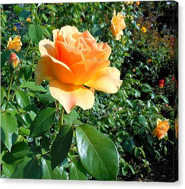 My Love Is Like A Rose Canvas Print by Kay Gilley
