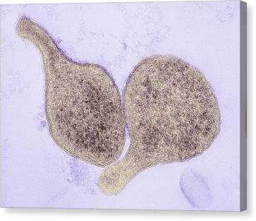 Mycoplasma Genitalium Bacteria Canvas Print by Thomas Deerinck, Ncmir