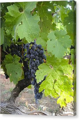 Napa Valley Vineyard Grapes Canvas Print by Jennifer Lamanca Kaufman