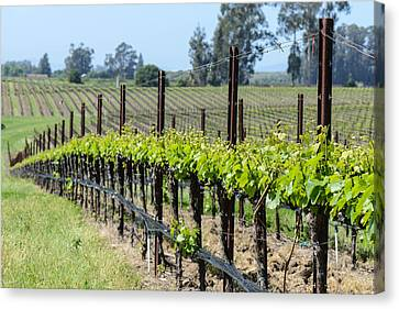 Napa Valley Vineyards In The Spring Canvas Print by Brandon Bourdages