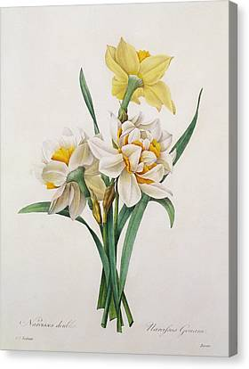 Narcissus Gouani Canvas Print by Pierre Joseph Redoute