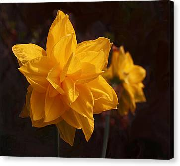 Narcissus Sweet Sue In Full Bloom Canvas Print by Rona Black