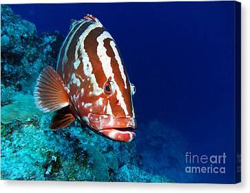 Nassau Grouper Canvas Print by Carey Chen