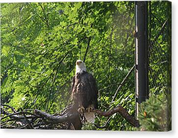 National Zoo - Bald Eagle - 12122 Canvas Print by DC Photographer