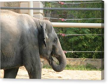National Zoo - Elephant - 121212 Canvas Print by DC Photographer