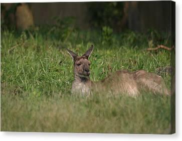 National Zoo - Kangaroo - 12125 Canvas Print by DC Photographer
