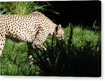 National Zoo - Leopard - 011311 Canvas Print by DC Photographer