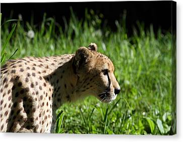 National Zoo - Leopard - 011316 Canvas Print by DC Photographer