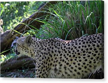 National Zoo - Leopard - 011325 Canvas Print by DC Photographer