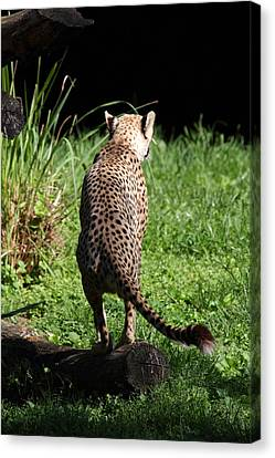 National Zoo - Leopard - 01139 Canvas Print by DC Photographer