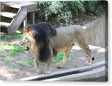 National Zoo - Lion - 011311 Canvas Print by DC Photographer