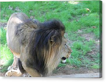 National Zoo - Lion - 01133 Canvas Print by DC Photographer