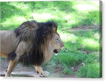 National Zoo - Lion - 01135 Canvas Print by DC Photographer