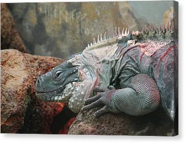 National Zoo - Lizard - 12127 Canvas Print by DC Photographer