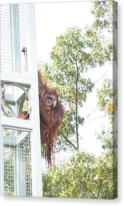 National Zoo - Orangutan - 121211 Canvas Print by DC Photographer