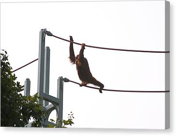 National Zoo - Orangutan - 12125 Canvas Print by DC Photographer