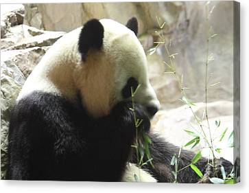National Zoo - Panda - 01136 Canvas Print by DC Photographer