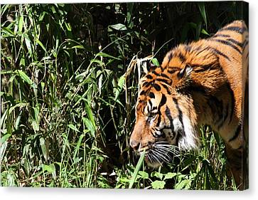 National Zoo - Tiger - 011311 Canvas Print by DC Photographer