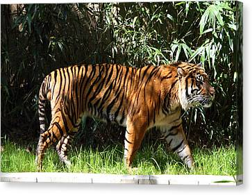 National Zoo - Tiger - 01138 Canvas Print by DC Photographer