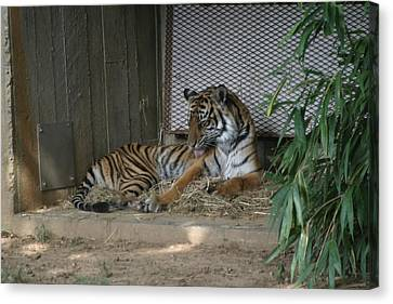 National Zoo - Tiger - 12122 Canvas Print by DC Photographer