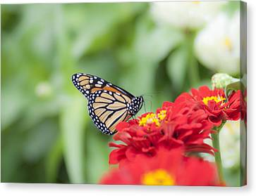 Natures Beauty - The Buterfly Canvas Print by Bill Cannon