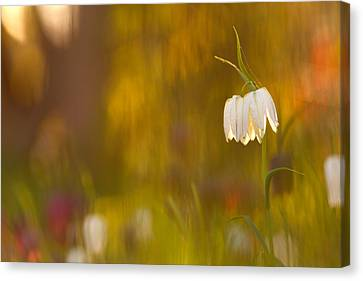Natures Painting - Snakes Head Fritillaries Canvas Print by Roeselien Raimond