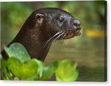 Neotropical Otter Lontra Longicaudis Canvas Print by Panoramic Images