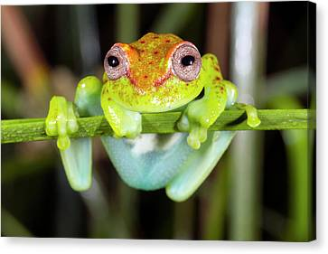 Neotropical Spotted Treefrog Canvas Print by Dr Morley Read