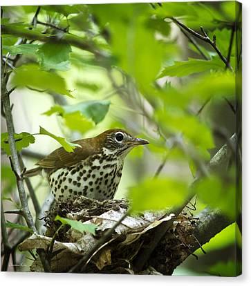 Nesting Bird Wood Thrush Canvas Print by Christina Rollo