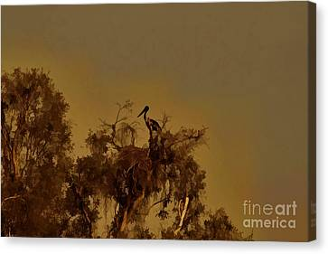 Nesting Jabiru  Canvas Print by Douglas Barnard