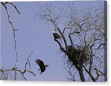 Nesting Pair Of American Bald Eagles 2 Canvas Print by Thomas Young