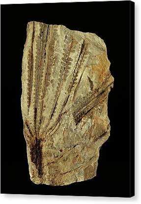 Neuropteridium Tree Fern Fossil Canvas Print by Gilles Mermet