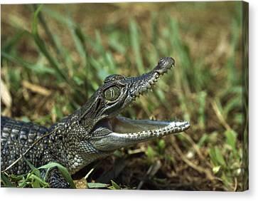 New Guinea Crocodile Baby New Guinea Canvas Print by Konrad Wothe