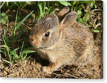 Newborn Eastern Cottontail Canvas Print by Neal  Eslinger