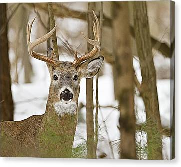 Nine Point White Tailed Buck Canvas Print by John Vose