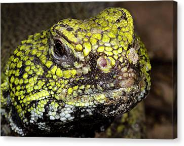 North African Spiny-tailed Lizard Canvas Print by Nigel Downer
