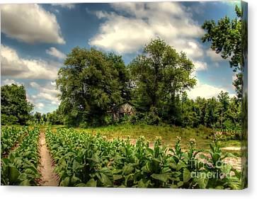 North Carolina Tobacco Farm Canvas Print by Benanne Stiens