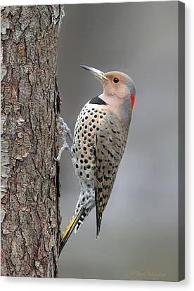 Northern Flicker Canvas Print by Daniel Behm