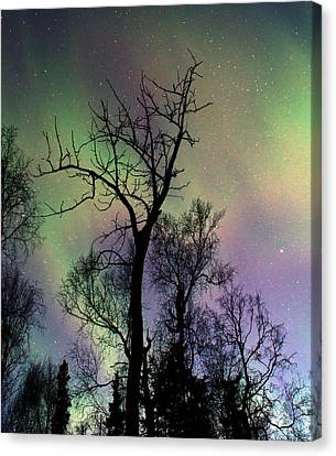 Northern Lights Cottonwood Canvas Print by Ron Day