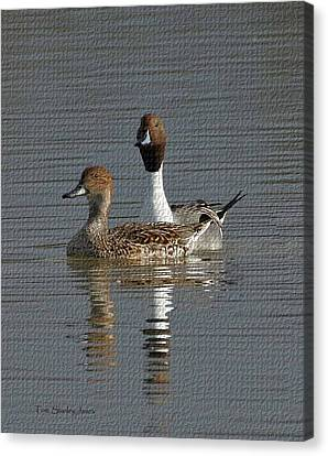 Northern Pintail Pair  Canvas Print by Tom Janca