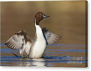 Northern Pintail Wing Flap Canvas Print by Bryan Keil
