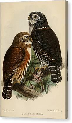 Northern Pygmy Owl Canvas Print by J G Keulemans