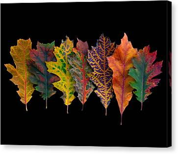 Northern Red Oak Leaves In Autumn Canvas Print by Frans Hodzelmans