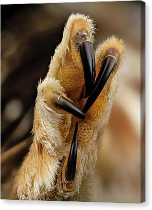 Northern Saw-whet Owl Foot Canvas Print by Us Geological Survey