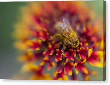 Now Rare Honey Bee 3 Canvas Print by Scott Campbell