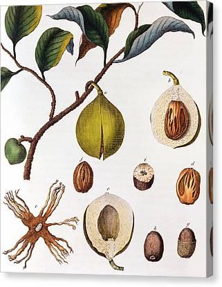 Nutmeg Myrsitica Fragrans Canvas Print by Anonymous
